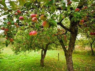 manzano-arbol-frutos