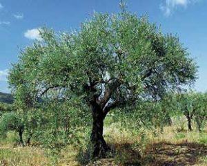 olivo-olea-europaea