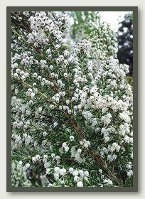 Bruc o brezo: erica arborea en flor