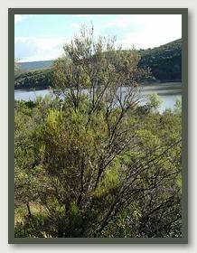 Bruc o brezo: erica arborea